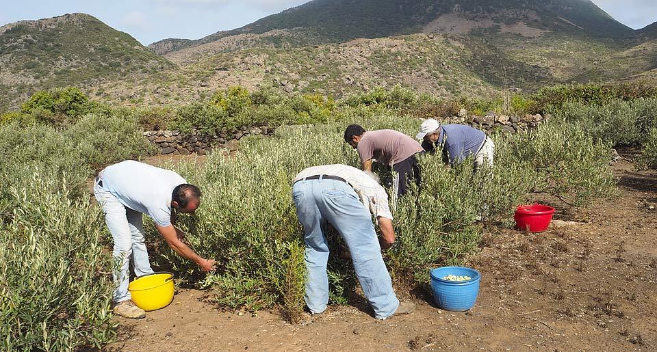 Analisi pantellolio olio extravergine di oliva for Raccolta olive periodo